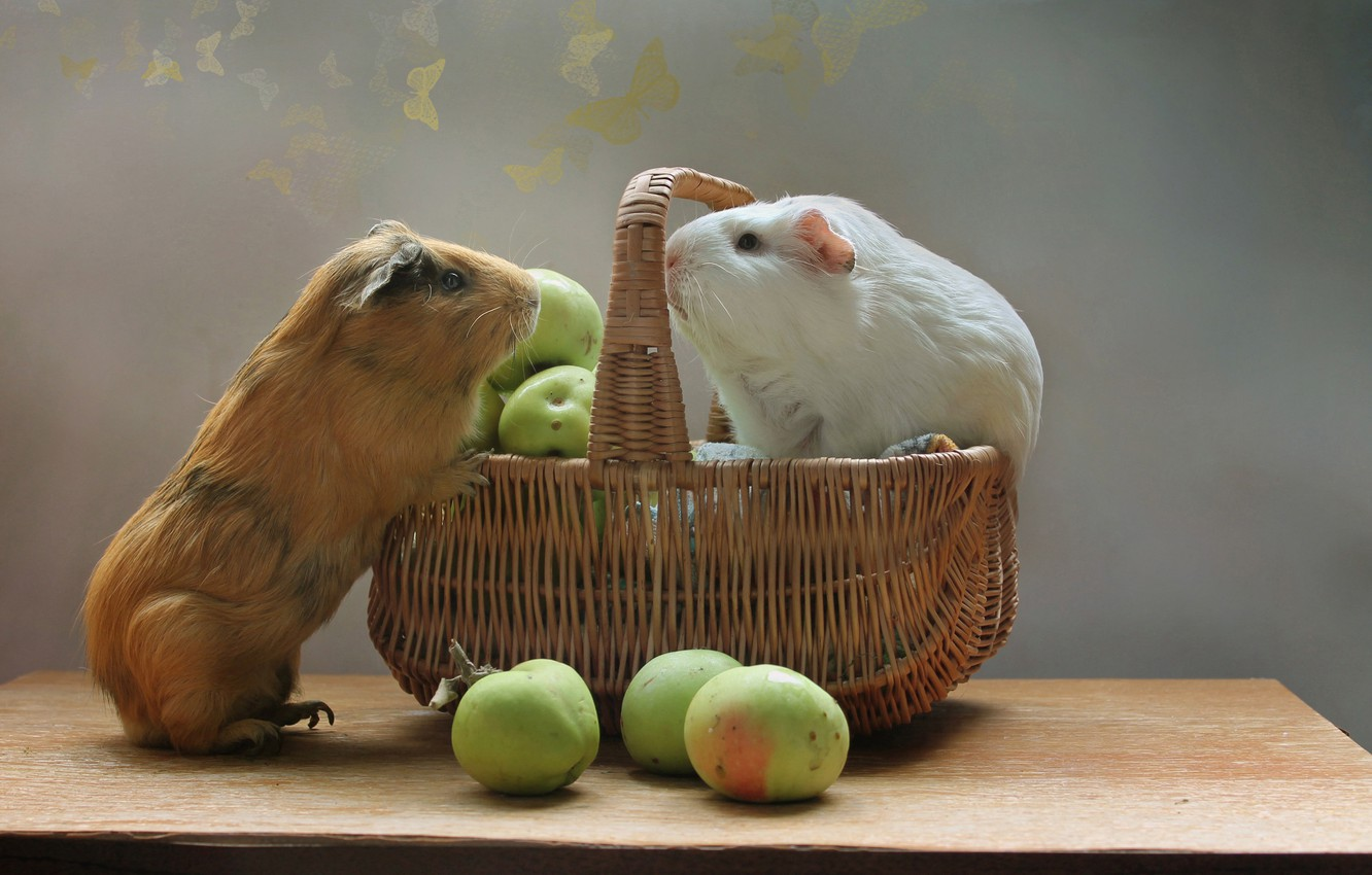 Photo wallpaper animals, summer, basket, apples, August, rodents, Guinea pigs