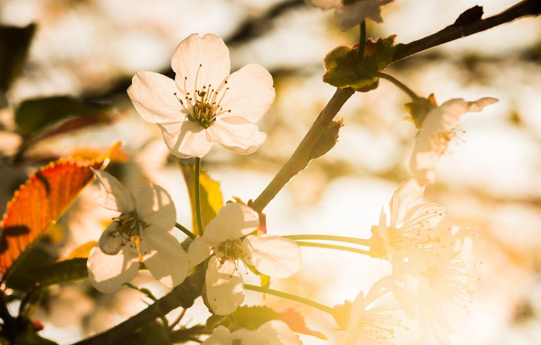 Photo wallpaper cherry, spring, garden