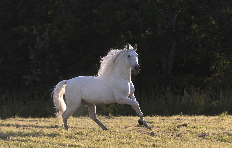 Photo wallpaper white, summer, light, horse, horse, stallion, shadow, meadow, mane