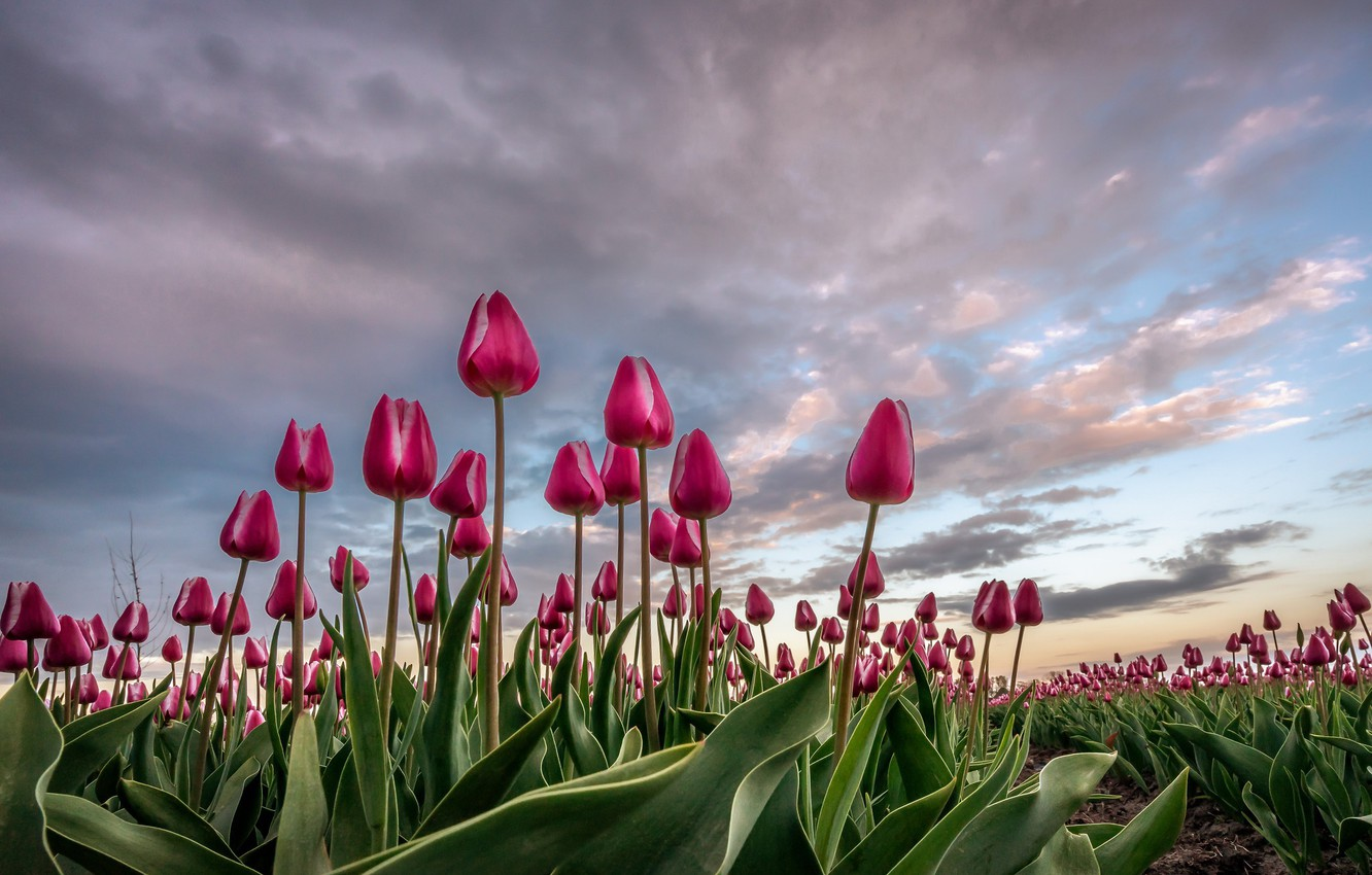Photo wallpaper flowers, nature, tulips