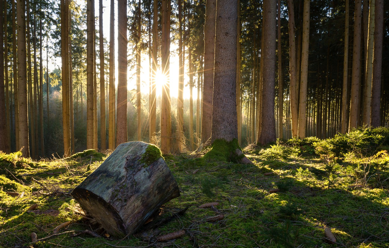 Photo wallpaper forest, trees, moss, bumps, log, the rays of the sun