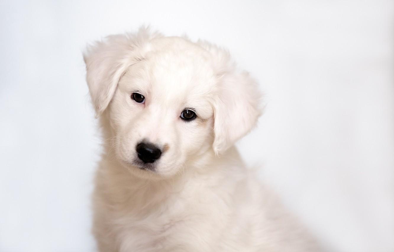 Photo wallpaper puppy, Labrador, Retriever