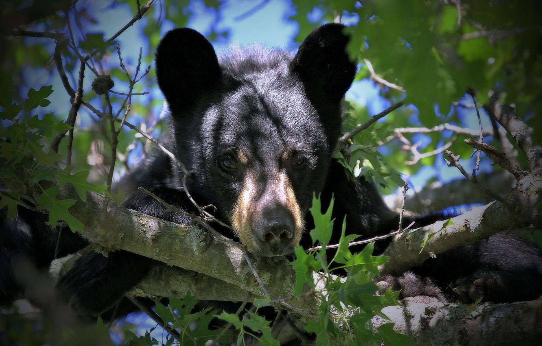 Photo wallpaper look, branches, bear, face, on the tree, Baribal, Black bear