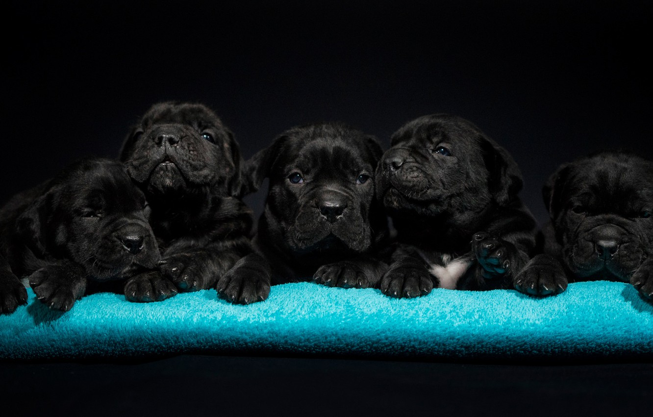 Photo wallpaper dogs, puppies, kids, Cane Corso