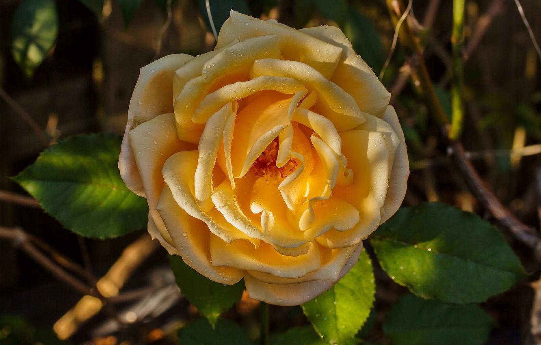 Photo wallpaper rose, Bud, yellow rose