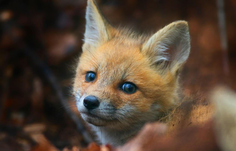Photo wallpaper background, portrait, muzzle, Fox, cub, wildlife, Fox, Fox