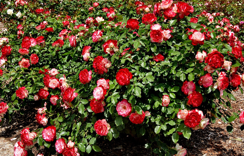 Photo wallpaper summer, Bush, roses, red, buds, flowering