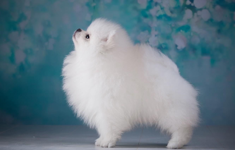 Photo wallpaper white, puppy, profile, Spitz