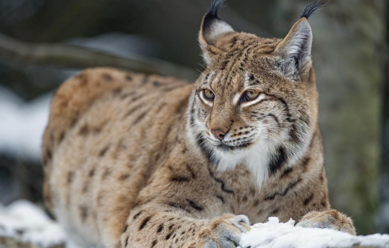 Photo wallpaper look, beauty, lynx