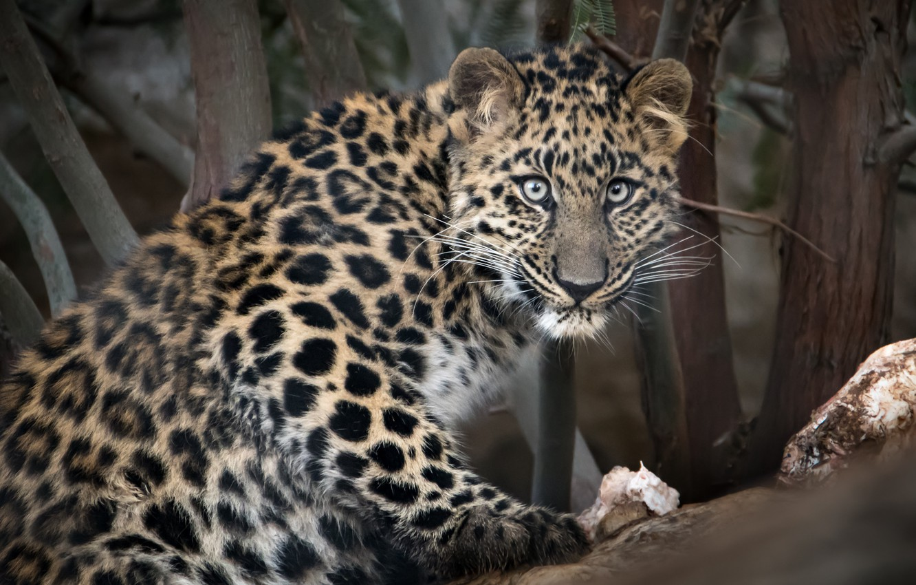 Photo wallpaper look, The Amur leopard, big cat, zoo San Diego