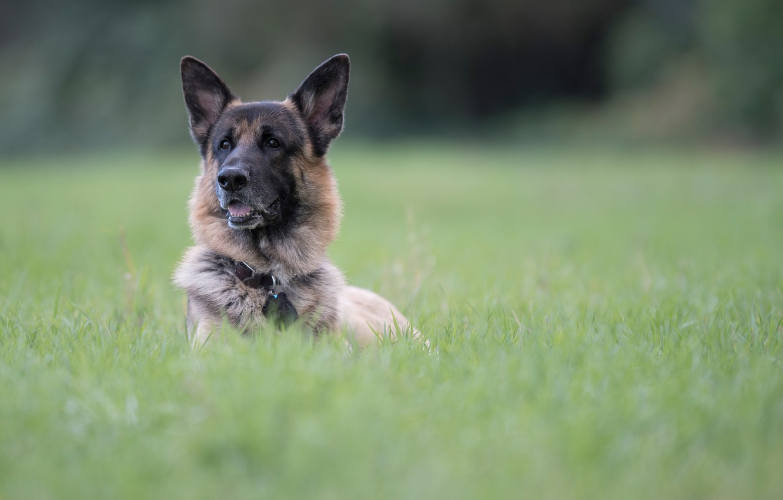 Photo wallpaper grass, face, portrait, dog, bokeh, German shepherd