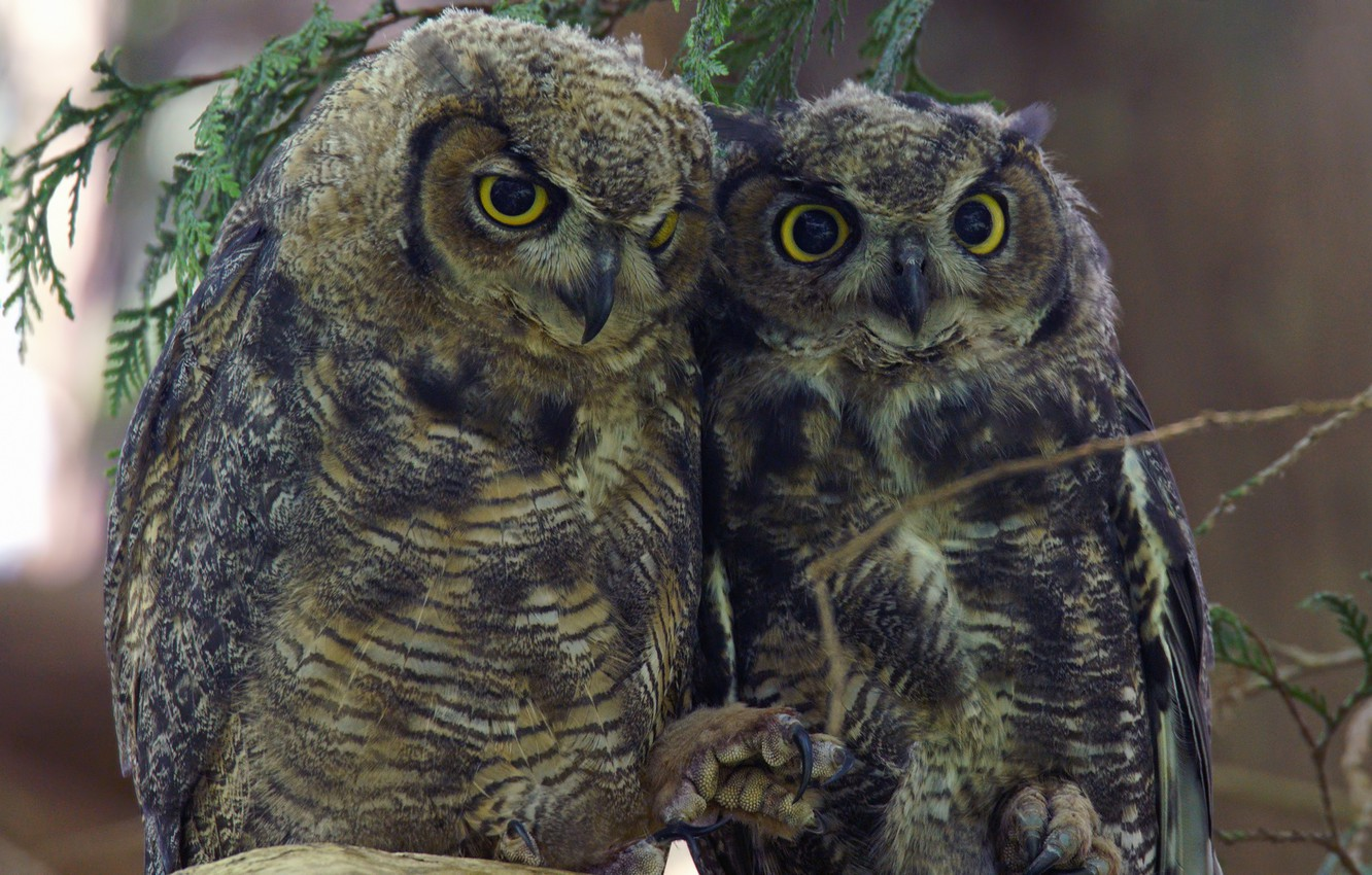 Photo wallpaper birds, pair, owls