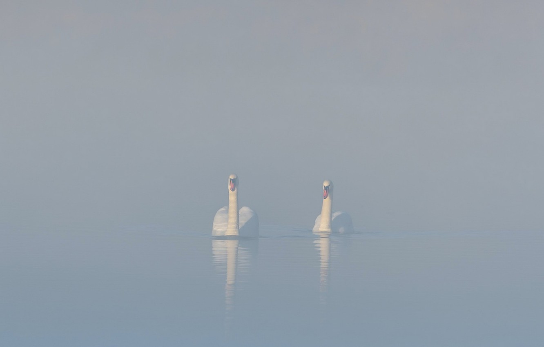 Photo wallpaper fog, lake, swans