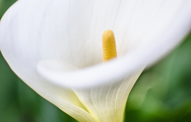 Photo wallpaper flower, nature, Calla