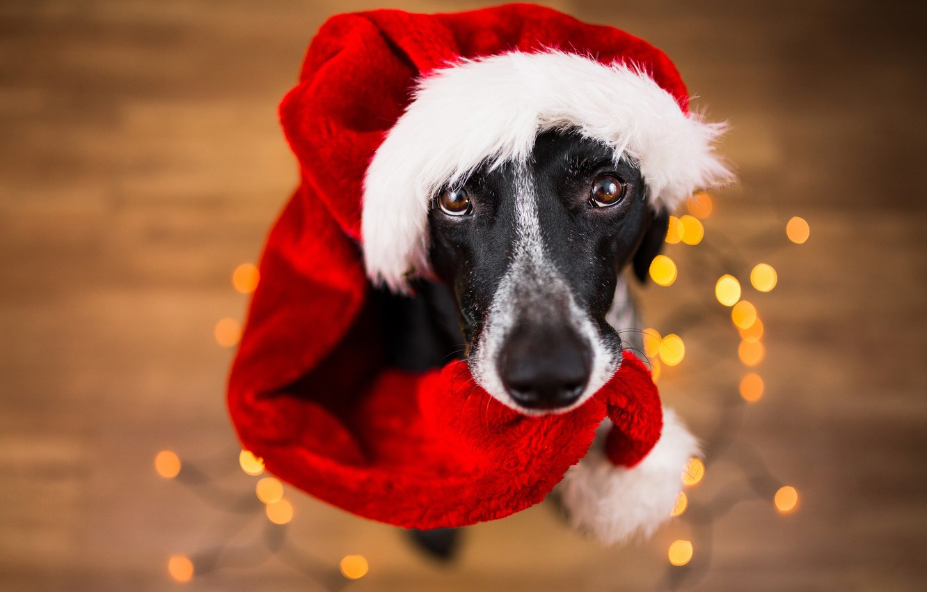 Photo wallpaper eyes, look, face, background, new year, portrait, dog, floor, Santa Claus, garland, sitting, light bulb, …