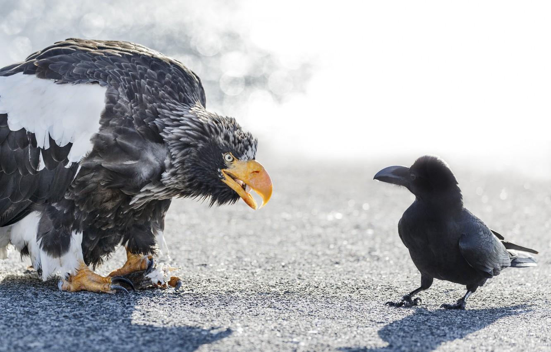 Photo wallpaper birds, meeting, eagle, Raven, white-tailed