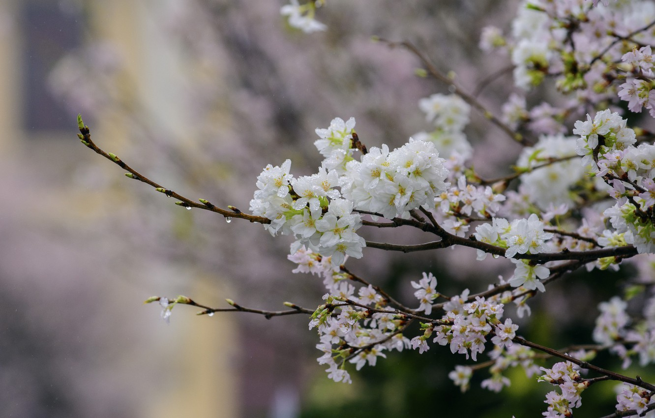 Photo wallpaper flowers, branches, tree, Nature, spring, flowering