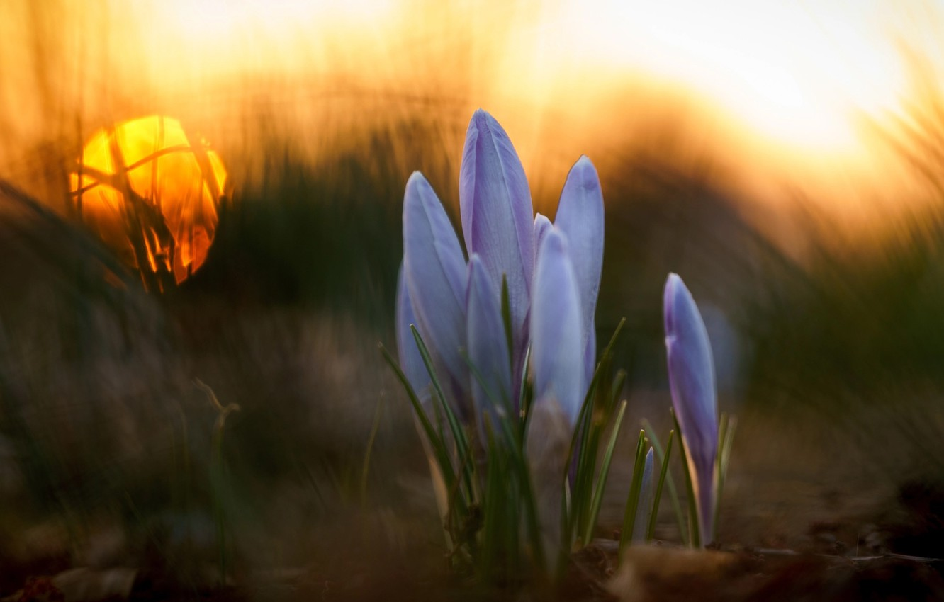 Photo wallpaper grass, macro, flowers, spring, crocuses, bokeh