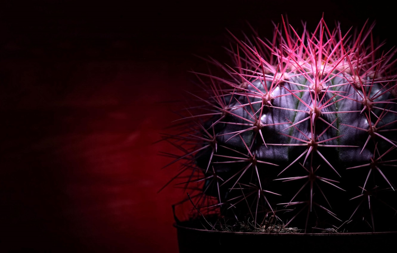Photo wallpaper needle, the dark background, cactus, spikes, red light, picture macro