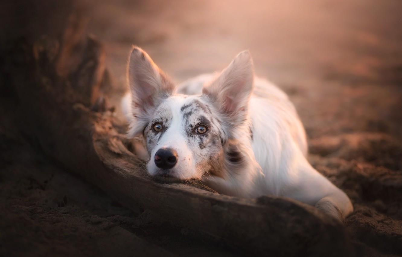 Photo wallpaper look, face, dog