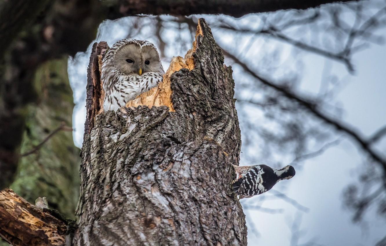 Photo wallpaper birds, nature, tree, owl, woodpecker, trunk, the hollow