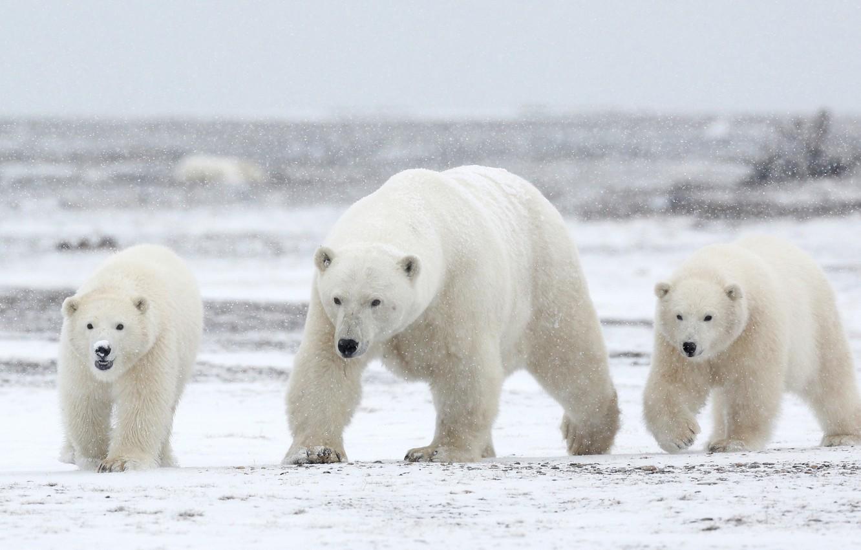 Winter with white polar bears