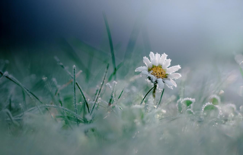 Photo wallpaper frost, flower, grass, macro, frost