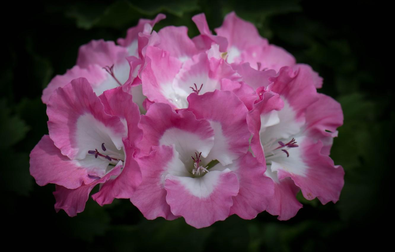 Photo wallpaper flower, macro, pink, petals