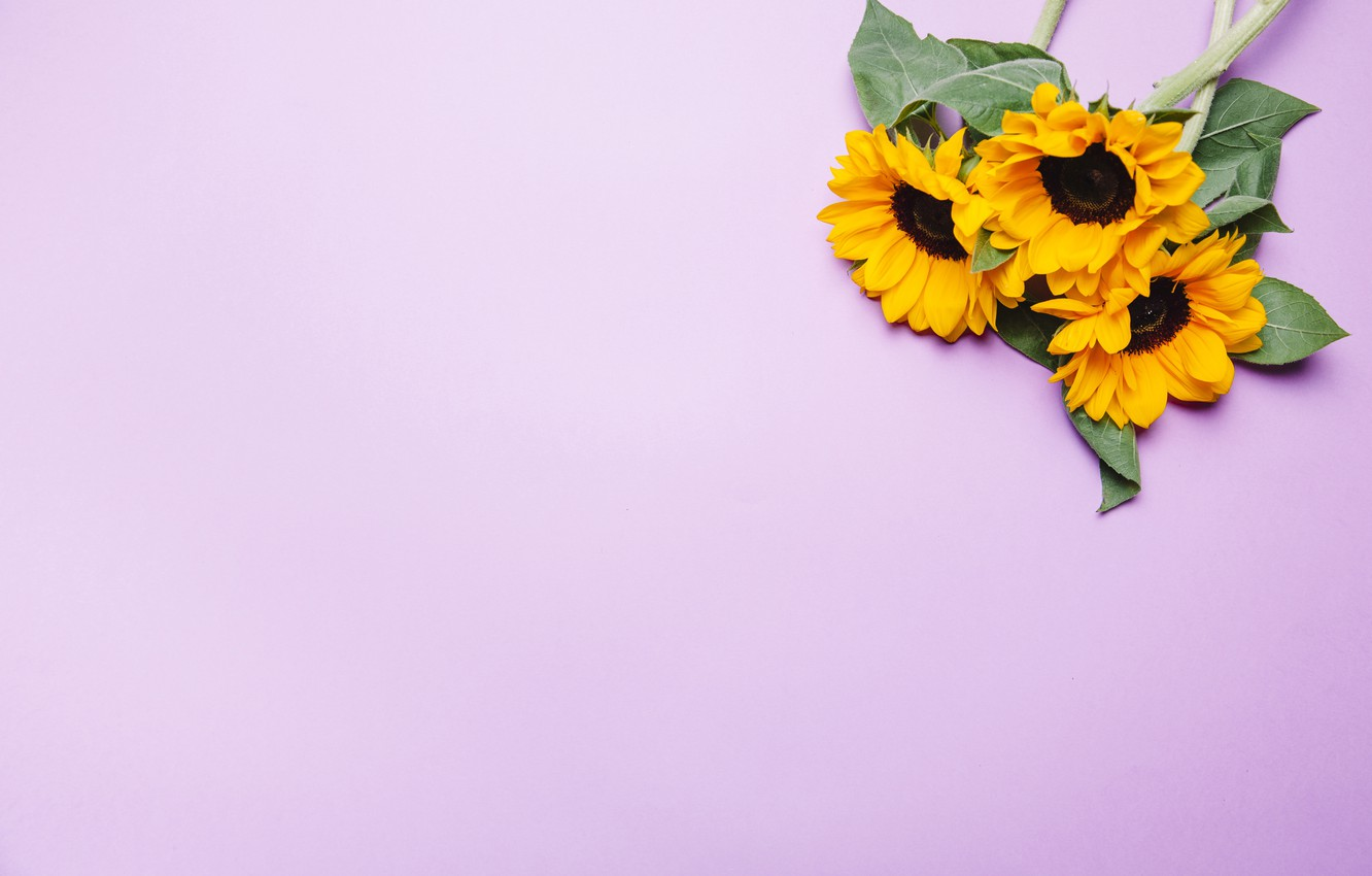 Wallpaper Flowers Sunflower Pink Background Images For Desktop
