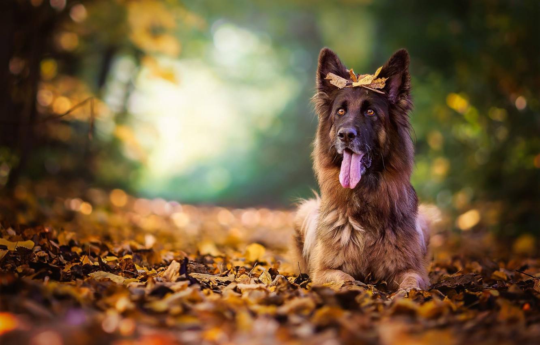Photo wallpaper autumn, language, leaves, dog, bokeh, shepherd