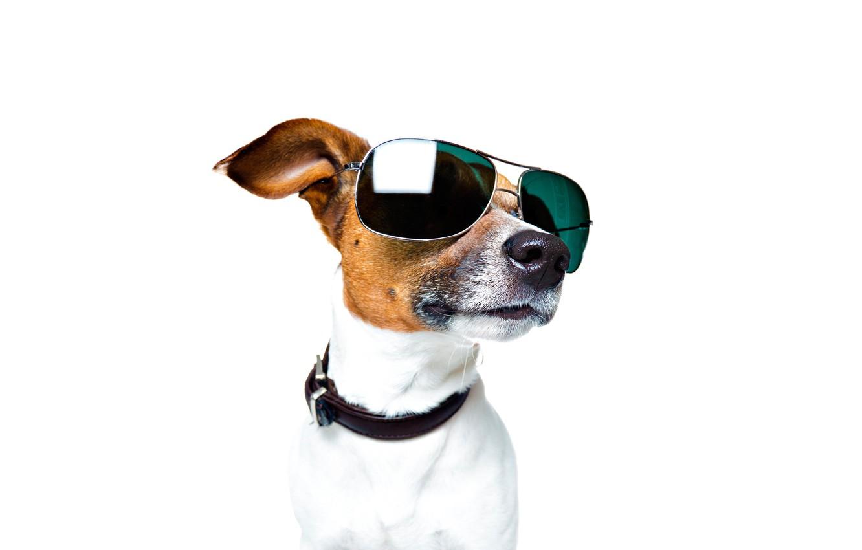 Photo wallpaper face, portrait, glasses, white background, collar, Jack Russell Terrier