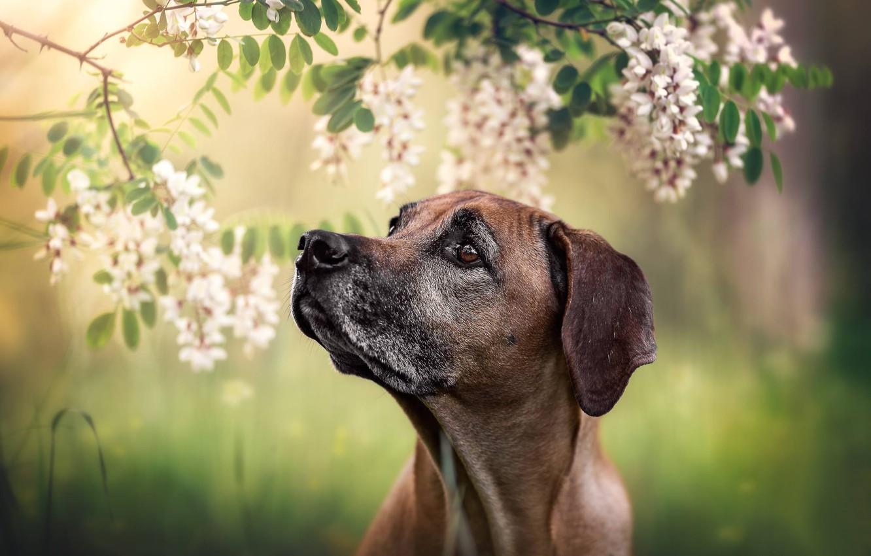 Photo wallpaper face, branches, portrait, dog, flowers, bokeh, acacia, Rhodesian Ridgeback