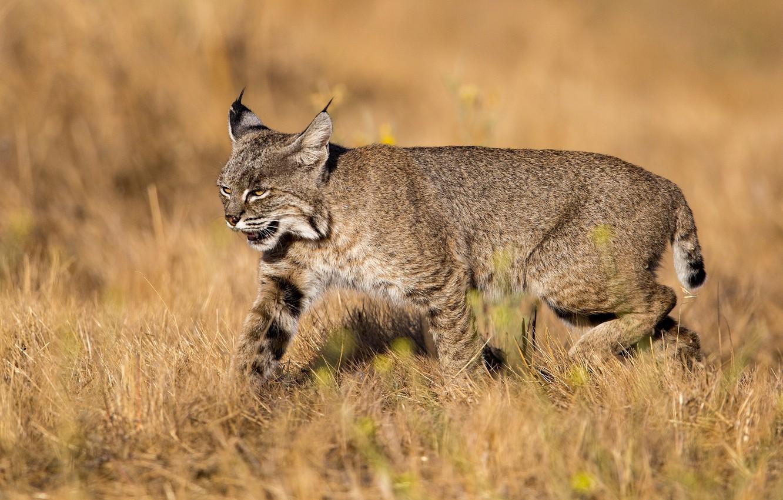 Photo wallpaper field, nature, animal, lynx