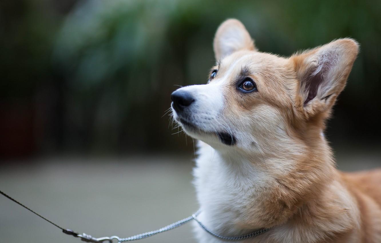 Photo wallpaper look, dog, leash