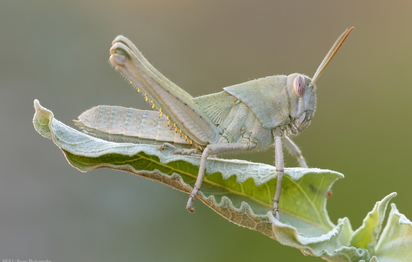 Photo wallpaper nature, background, leaf, insect, grasshopper