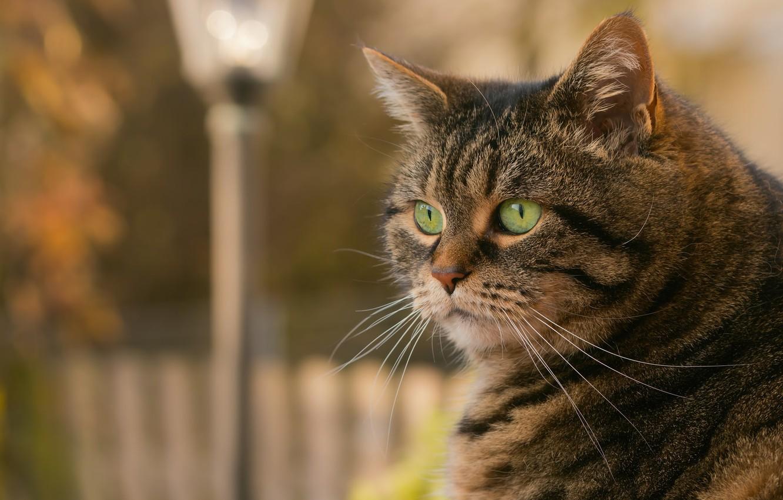Photo wallpaper cat, look, cat striped
