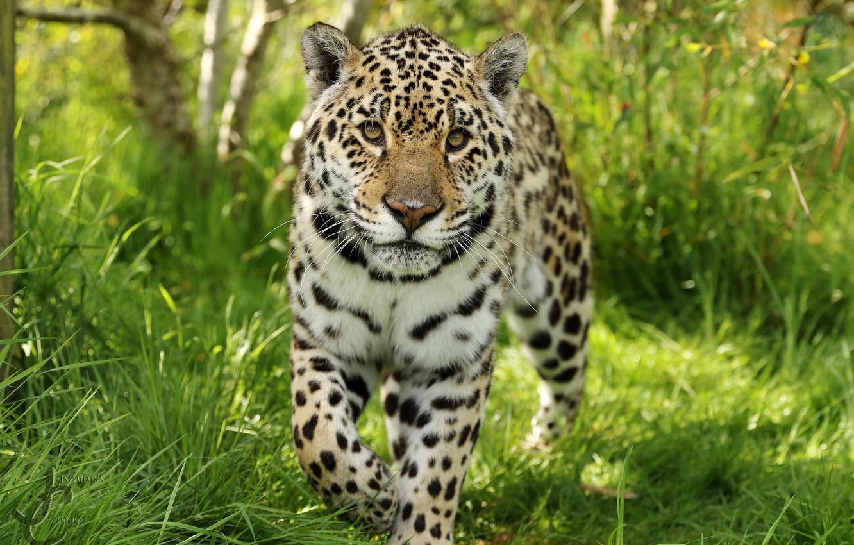 Photo wallpaper Jaguar, color, beautiful, wild, dangerous