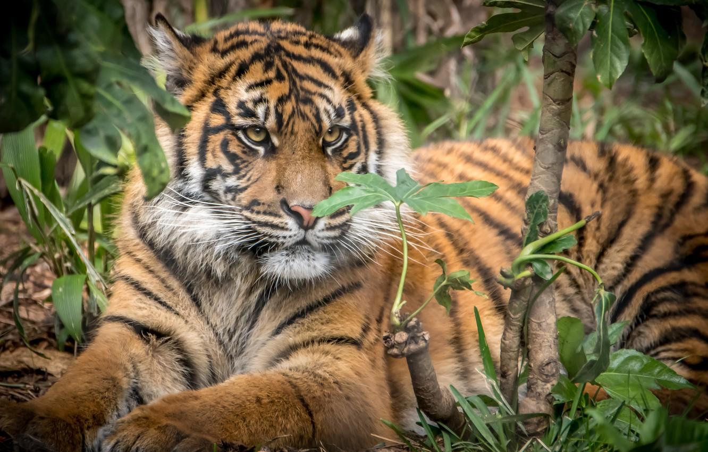 Photo wallpaper tiger, cub, Sumatran tiger, big cat