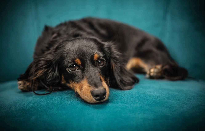 Photo wallpaper look, sofa, dog, muzzle, puppy, lies