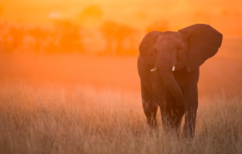 Photo wallpaper sunset, elephant, Kenya, Masai Mara