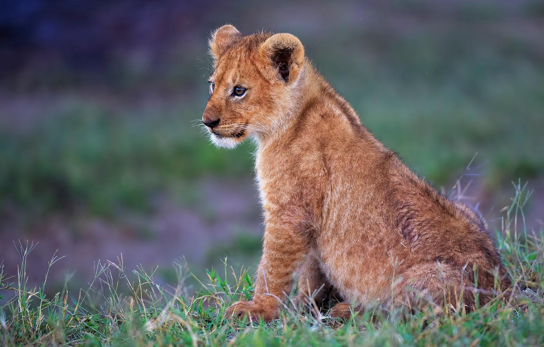 Photo wallpaper grass, cub, kitty, lion