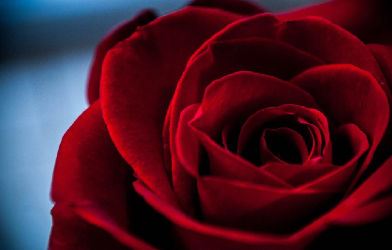 Photo wallpaper macro, rose, petals, Bud, velvet