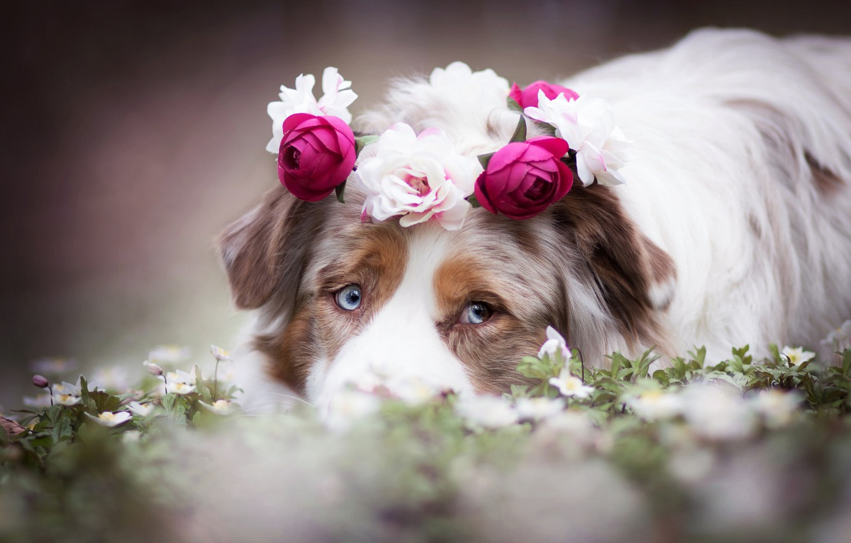 Photo wallpaper look, face, flowers, dog, wreath, Australian shepherd, Aussie