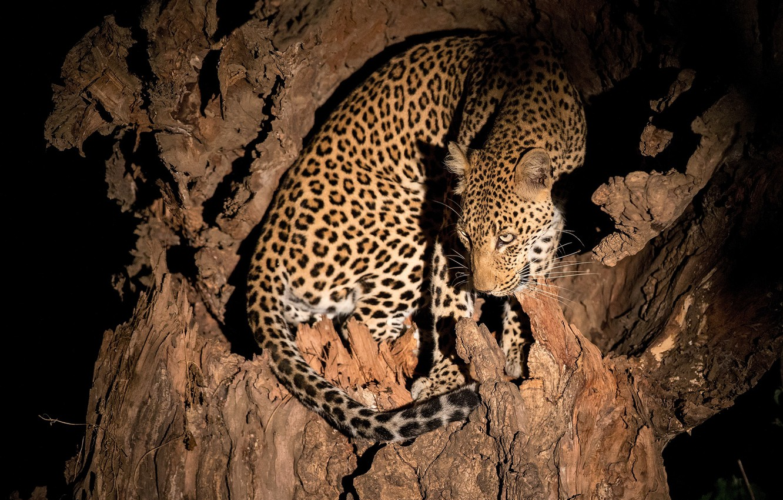 Photo wallpaper night, tree, leopard