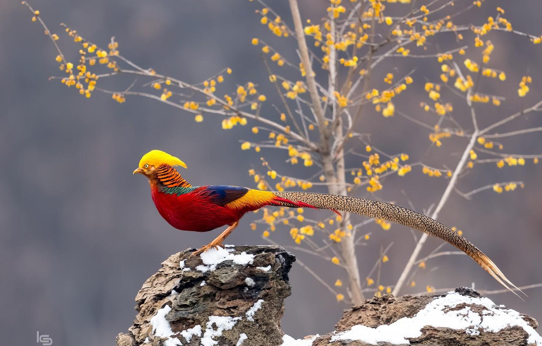 Photo wallpaper bird, tail, gold, pheasant