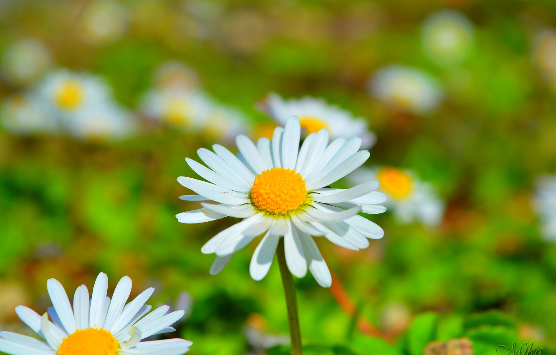 Photo wallpaper Spring, Daisy, Camomile