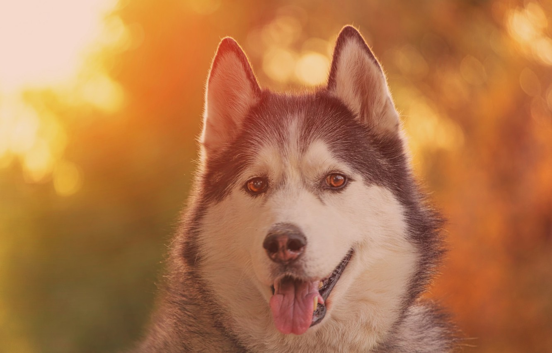 Photo wallpaper language, look, face, portrait, dog, bokeh, Malamute