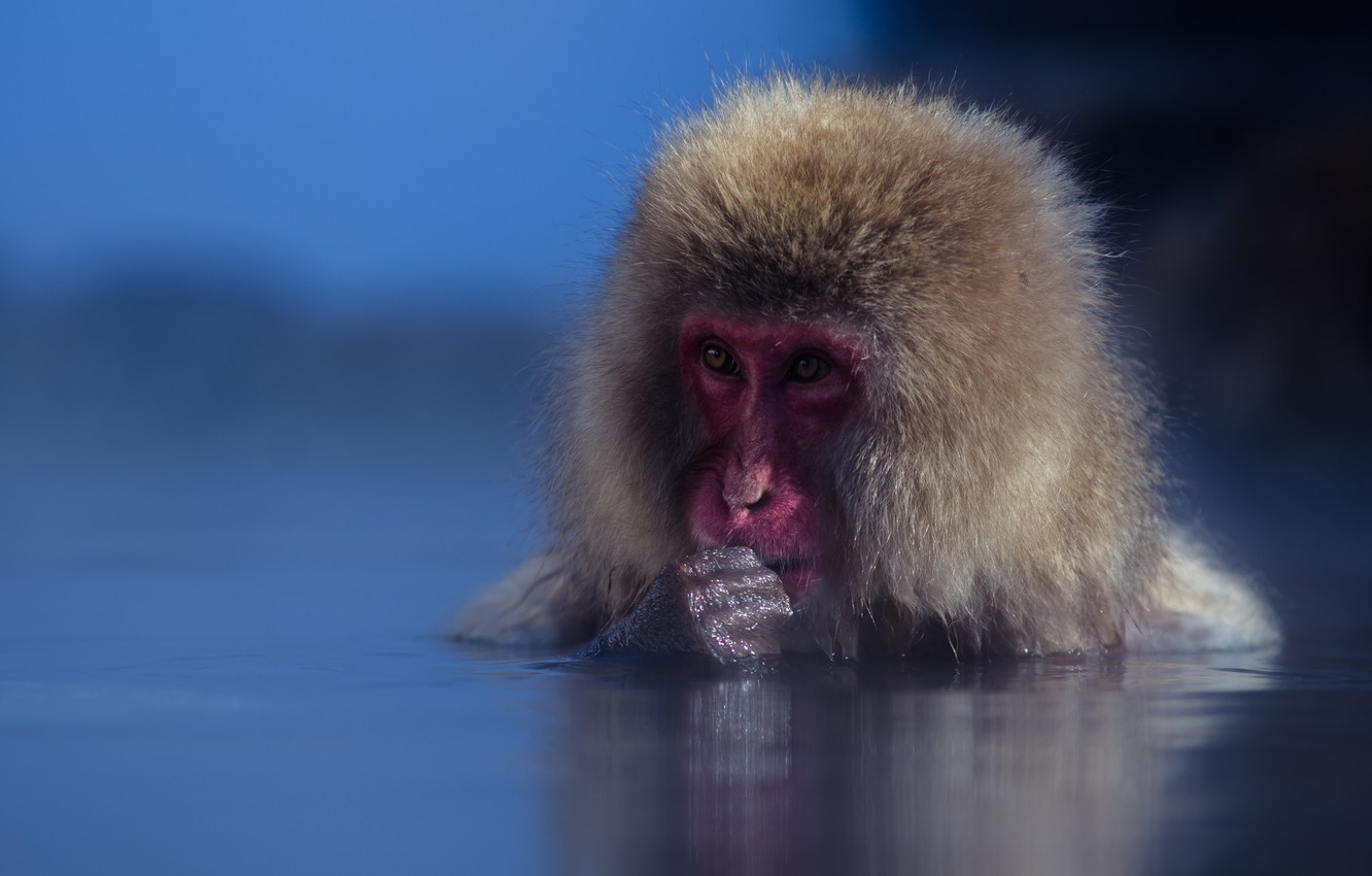 Photo wallpaper water, muzzle, monkey, Japanese macaques