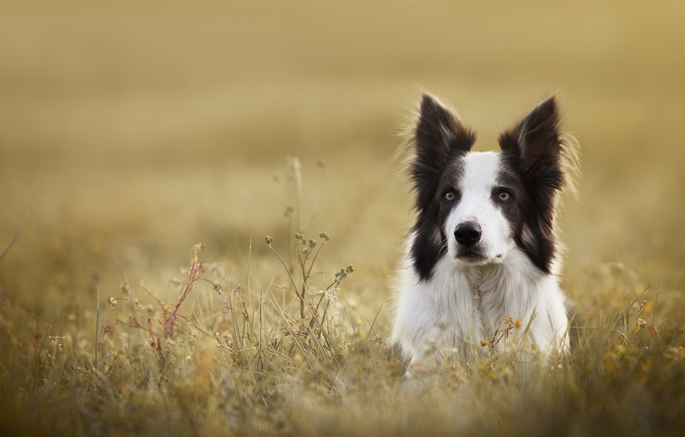 Photo wallpaper grass, look, face, dog, The border collie