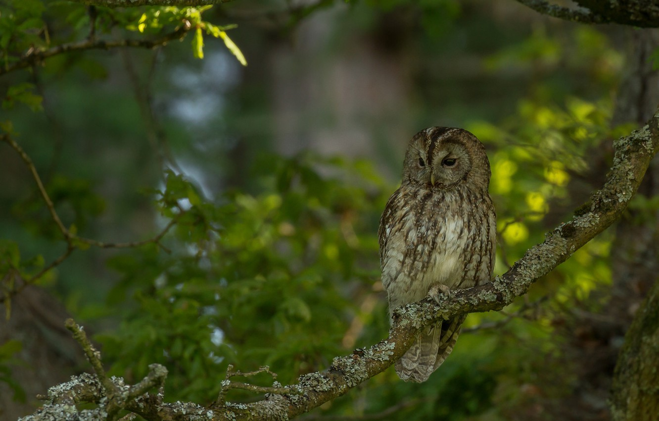 Photo wallpaper greens, branches, tree, owl, bird, Gray owl